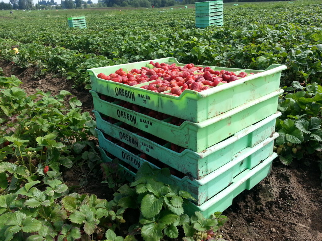 Stacked treys of strawberries