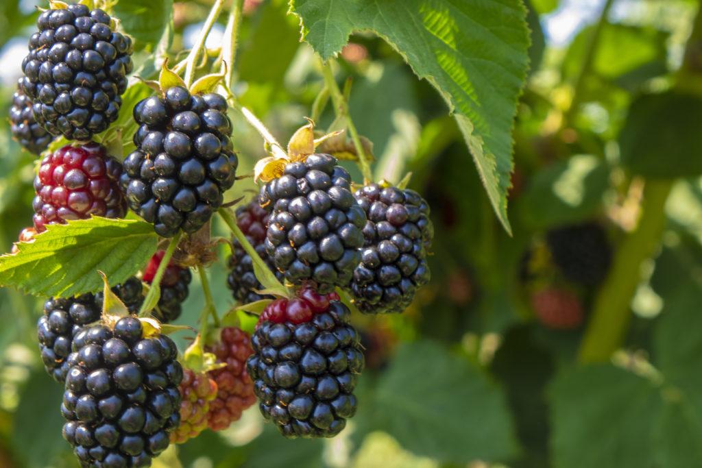Blackberry on the bush